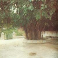 Banyan tree sitting under which Krupalu Dev used to preach